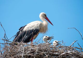 Conservationists eagerly await first UK stork chicks in centuries