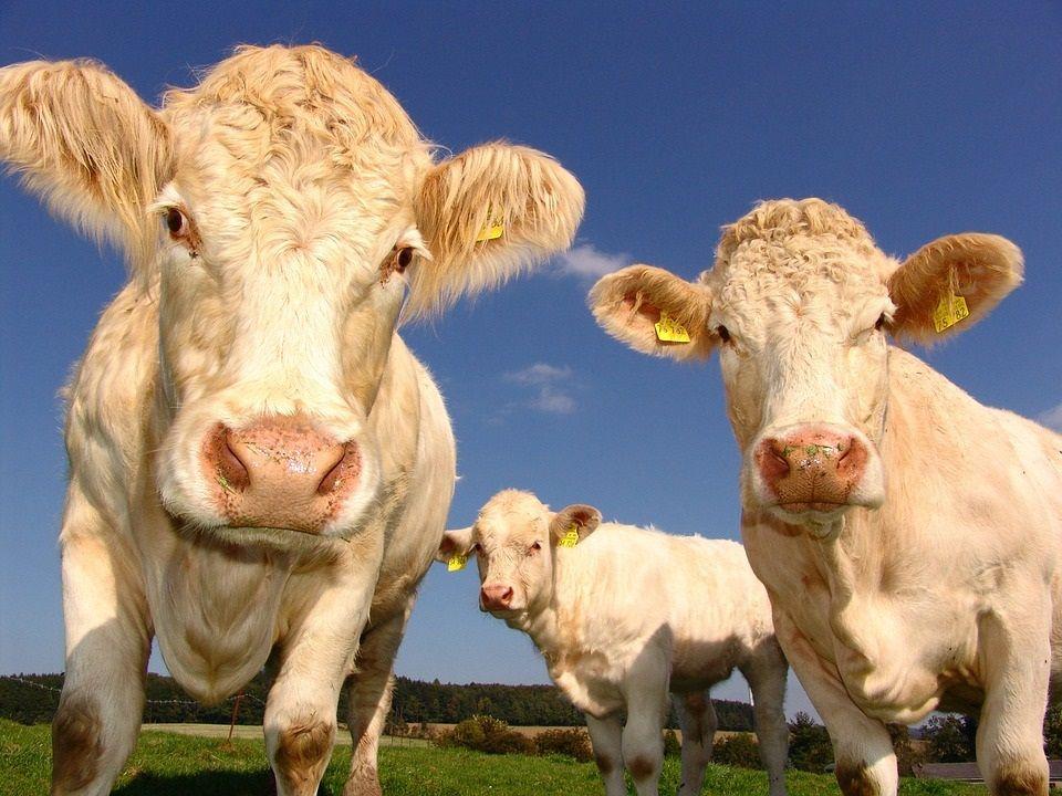 El metano contribuye al calentamiento global con un 15%.