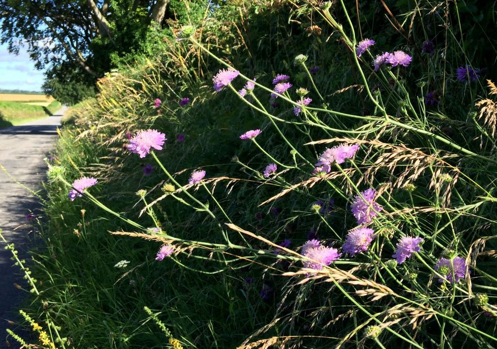 Field scabious growing by a road (c) Trevor Dines