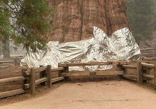 A maior árvore do planeta é coberta para ser protegida de incêndios
