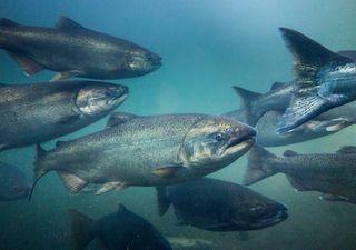 Desastre ambiental: muerte de salmones se asocia a algas nocivas