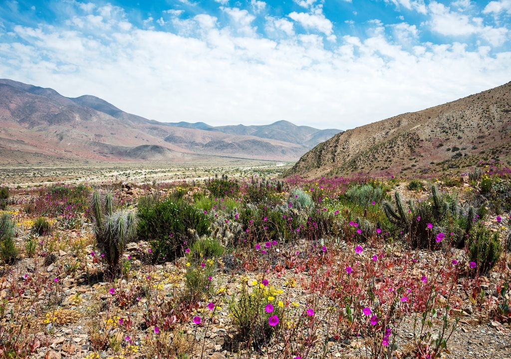 Deserto do Atacama coberto de flores