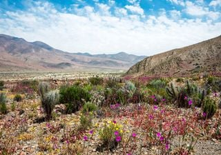 Desierto florido cubre de colores a Huasco y Freirina