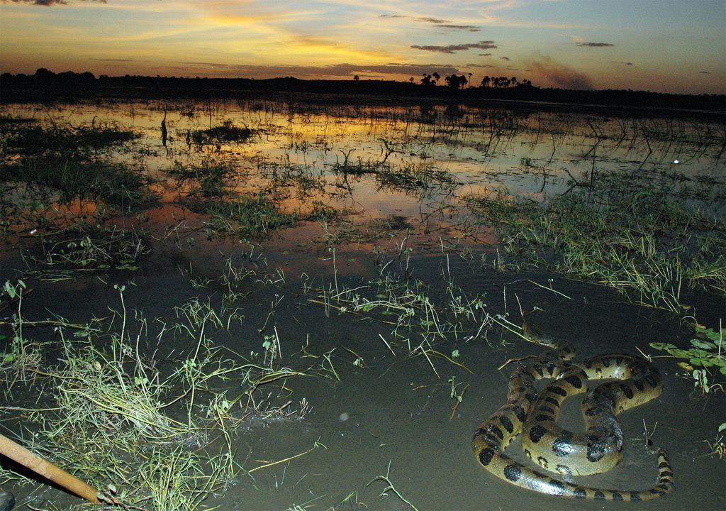 Anaconda verde o común o amazónica.