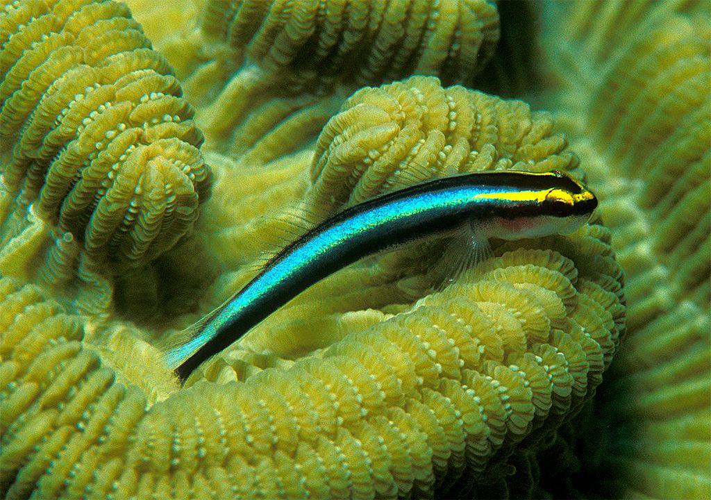 Elacatinus evelynae descansando sobra una colonia de coral pétreo.