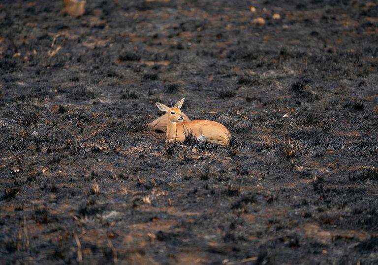 Animal en un bosque quemado