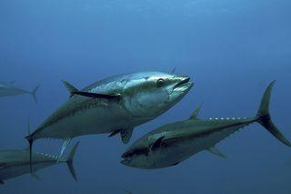 """El atún rojo como """"medidor"""" global de la contaminación por mercurio"""