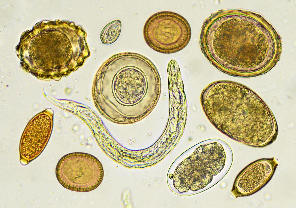 microorganismos intestinales