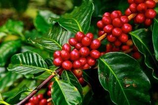 El calentamiento global se lo pondrá difícil a la planta del café