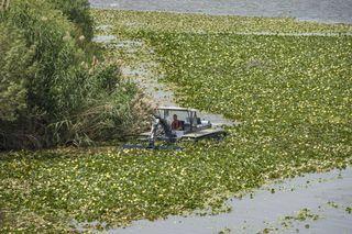 El camalote la planta invasora del río Guadiana y su lucha