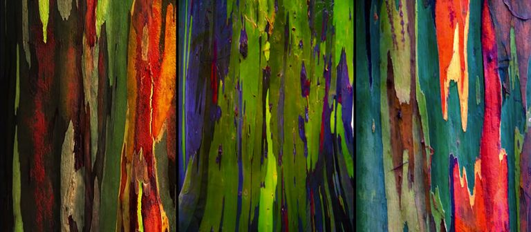 El Eucalipto Arcoiris