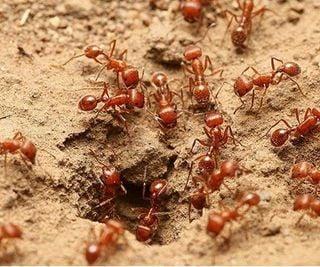 El huracán Harvey y las hormigas de fuego