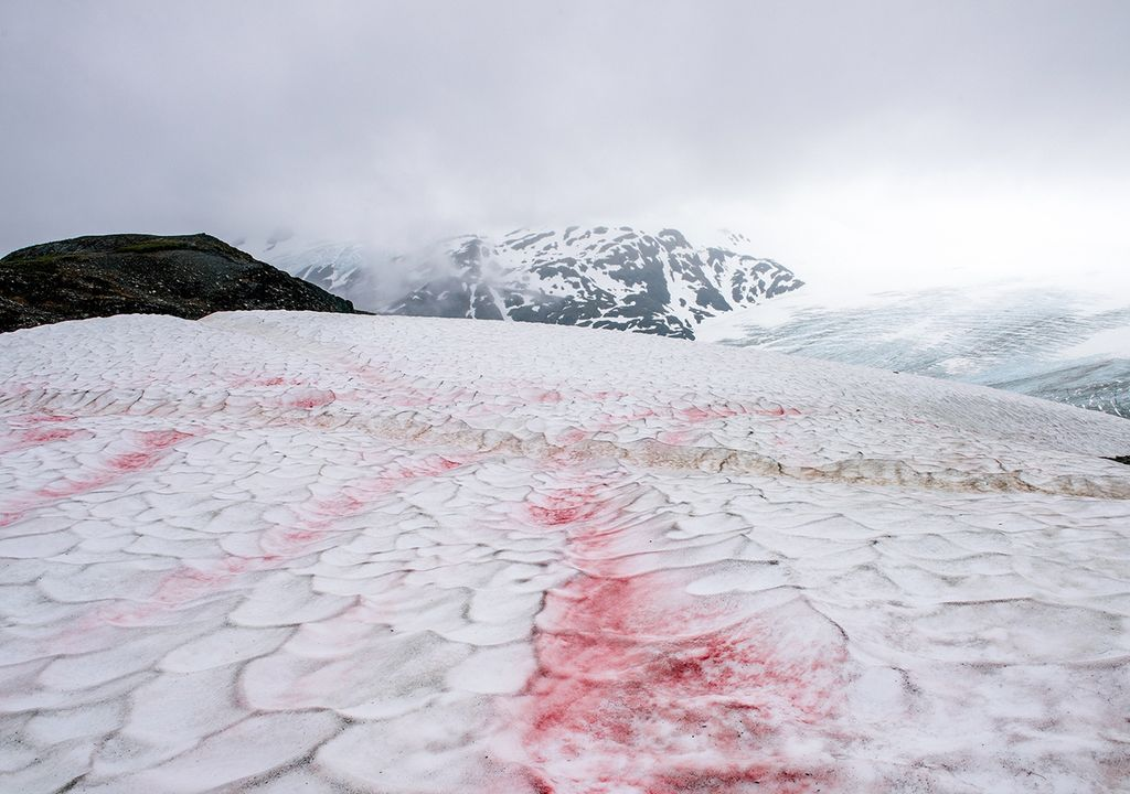 Nieve roja de sangre algas