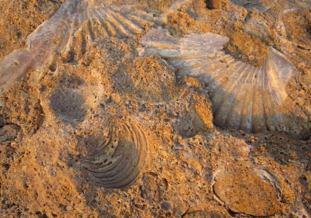 Fosiles de conchas