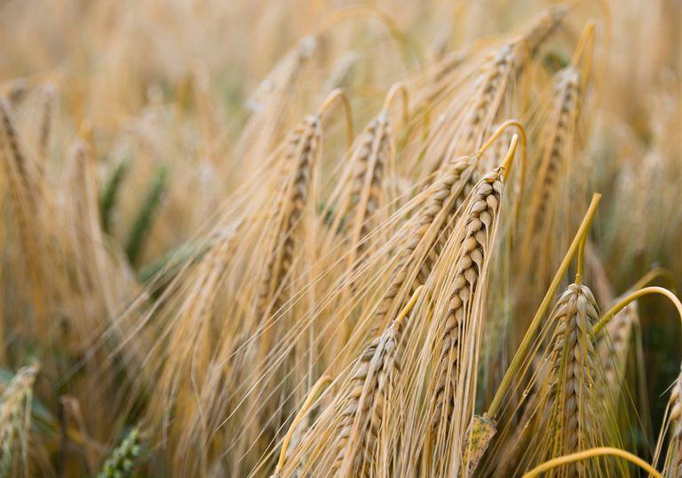 Trigo Siembra Cultivos