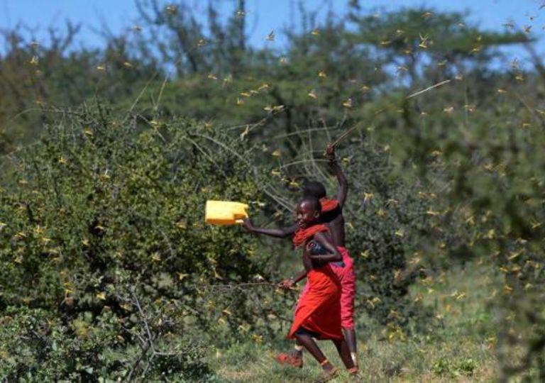 Langostas África plaga