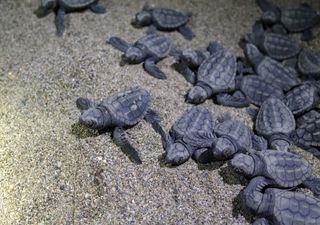 Tsunami de tortues sur une plage brésilienne