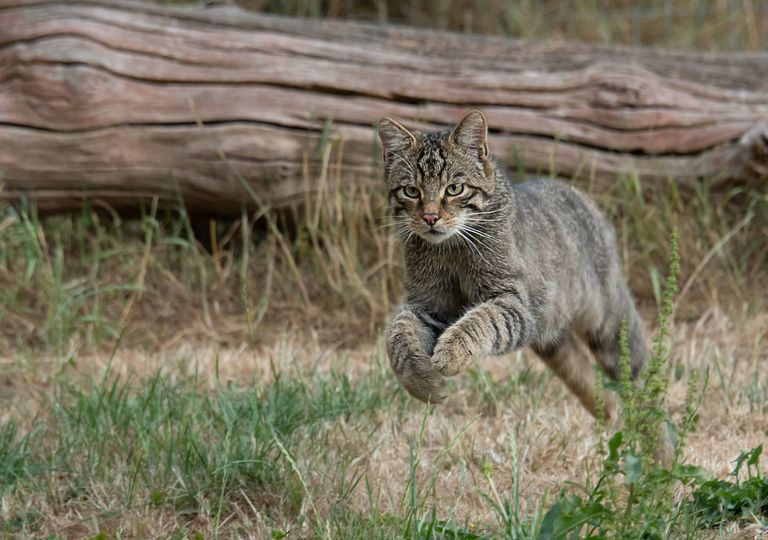 Roaming wildcat.