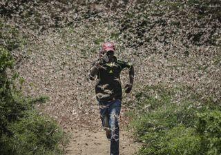 Enorme plaga de langostas sigue poniendo en riesgo a varios países