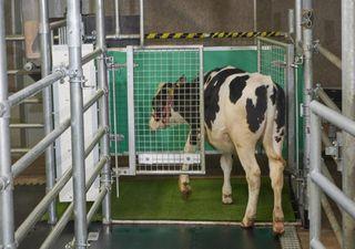 """Entrenan vacas para """"ir al baño"""" y frenar el cambio climático"""