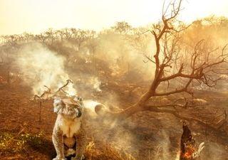 Espécies mais ameaçadas pela crise dos incêndios na Austrália
