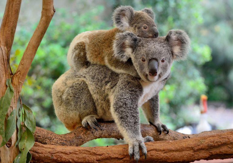 coalas; controle de fertilidade