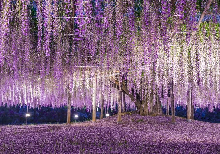 wisteria, japan, tree, day.