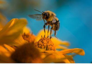 Estudo mostra que a mudança climática é prejudicial às abelhas