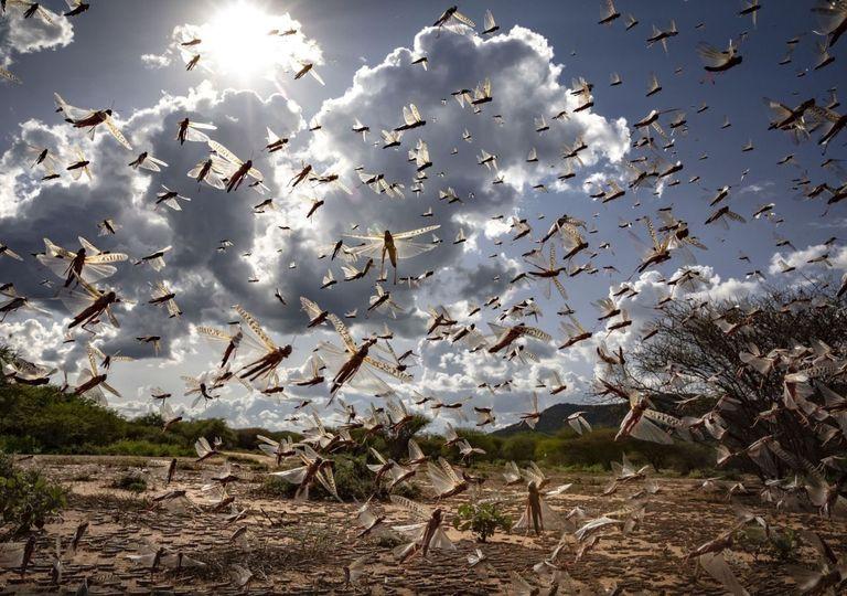 Infestação gafanhotos Índia