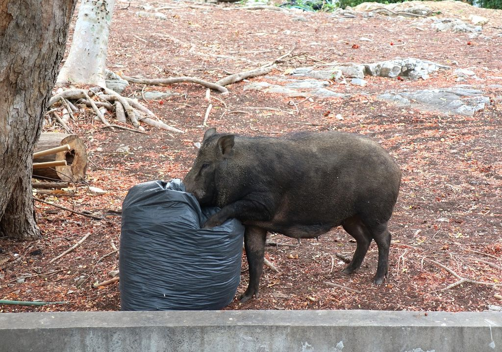 jabalí buscando comida en la bolsa de basura