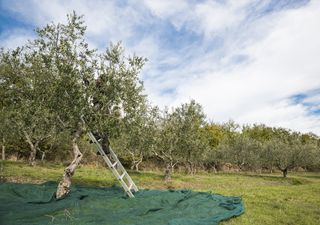 """Italia, """"secondo anno più caldo dall'800"""": anticipata raccolta olive"""