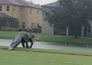 Jacaré gigante surge durante tempestade Eta
