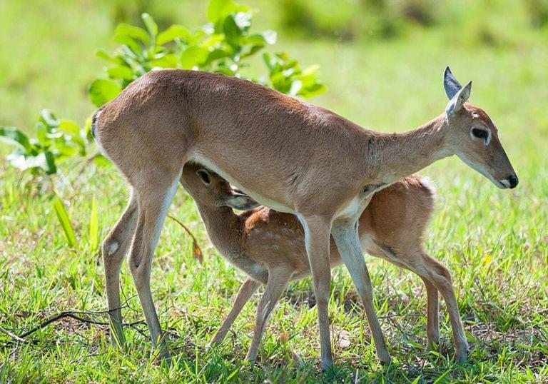 Ciervo de las pampas ecorregión extinción