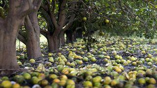 La naranja de Florida golpeada por Irma y otras enfermedades
