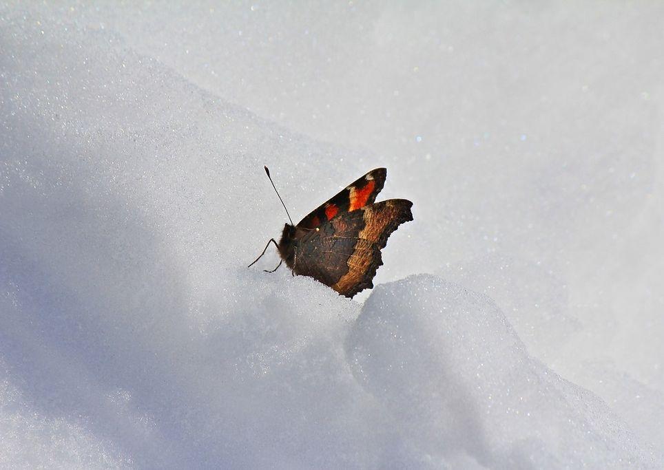 farfalla-neve
