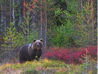 La población de osos pardos en la cordillera Cantábrica podría reducirse a la mitad en los próximos 50 años