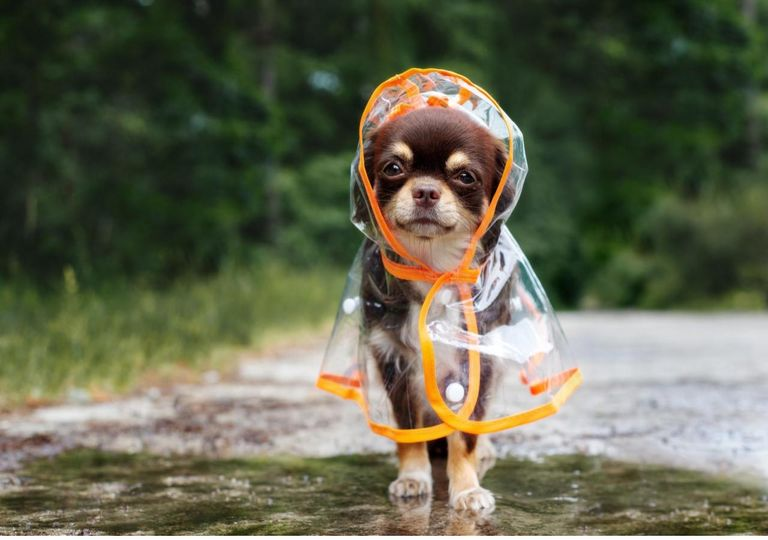 Perro paseando bajo la lluvia