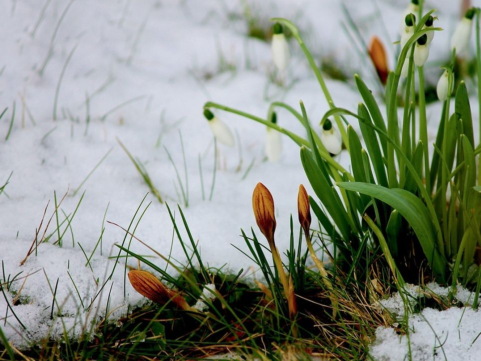 fiori-neve
