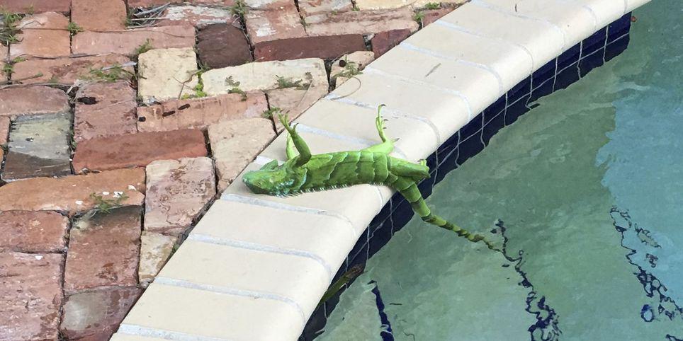 Iguana inmóvil en Florida, durante la bajada de temperaturas a primeros de enero de 2018.