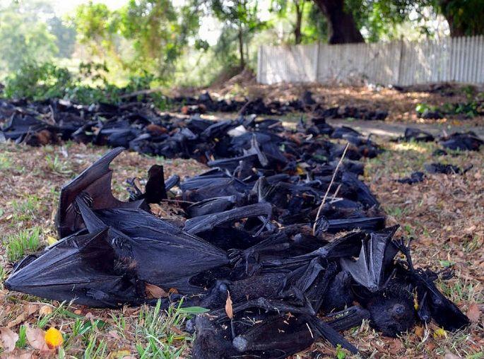 Murciélagos muertos por altas temperaturas en Australia caídos desde los árboles