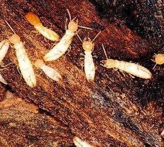 Las termitas emiten metano