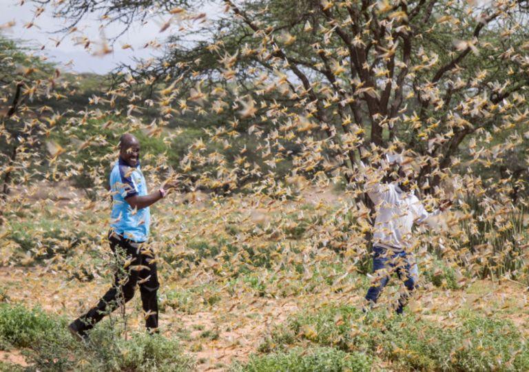 Infestação de gafanhotos na África