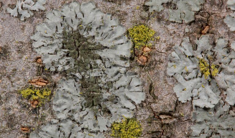 Especie: Phaeophyscia orbicularis. Autor: Sergio Pérez Ortega