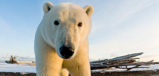Los osos polares tienen problemas: el hielo marino declina