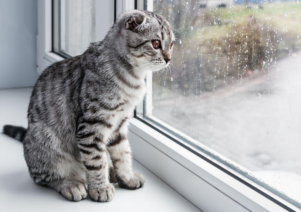 Cat watches rain