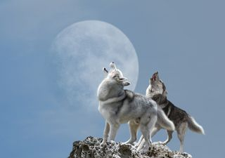 Luna del Lobo: ¿Cuándo, dónde y cómo ver el primer plenilunio?