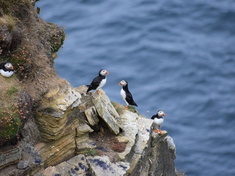 Puffins can be found on UK shores.