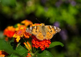 Mariposas que desaparecen 'tocando' el cielo, ¡misterio resuelto!