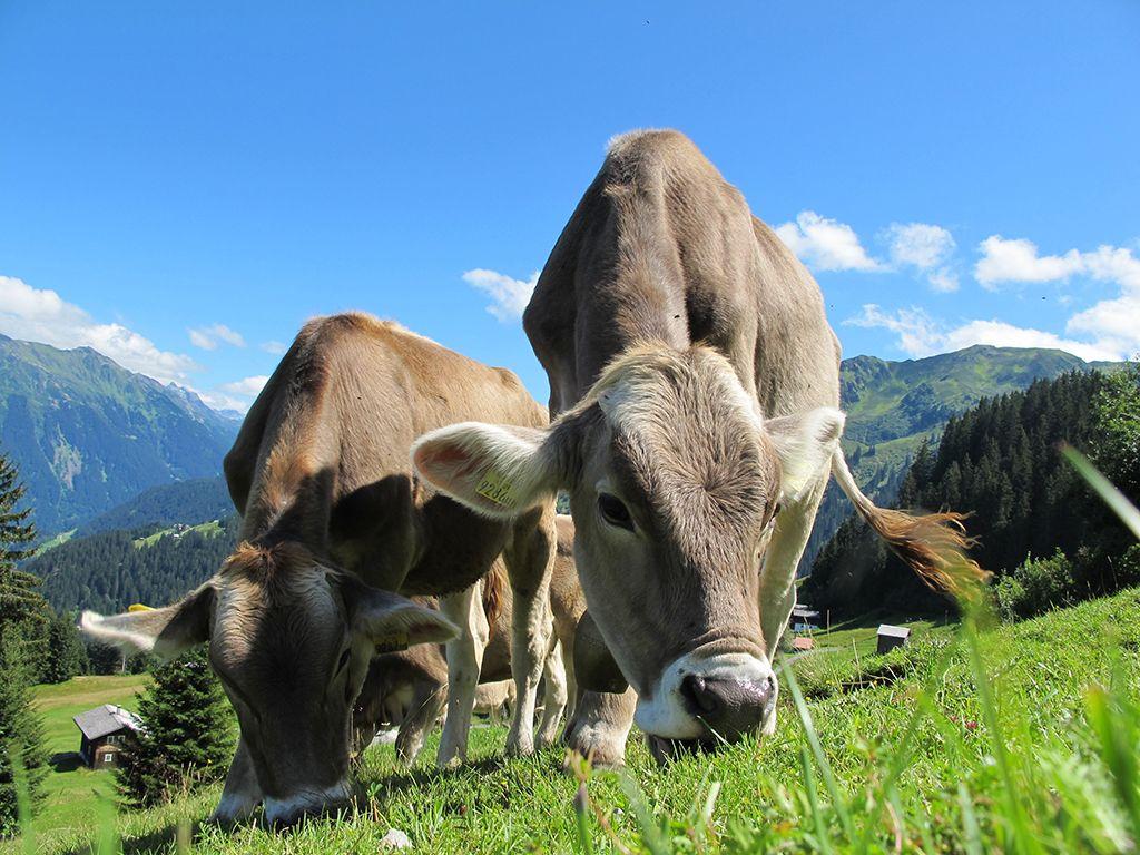 metano vacas