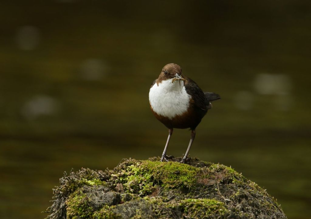 Dippers eat insects found in and around rivers.